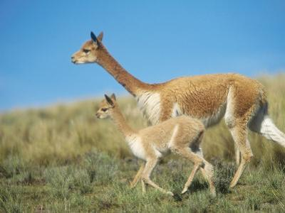 Vicuna, Mother with 3 Week Old Baby, Peruvian Andes