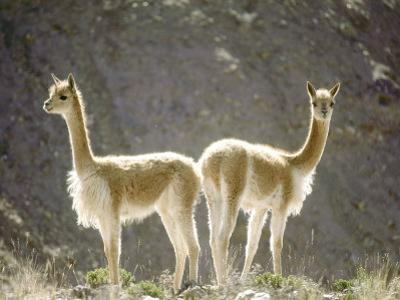 Vicuna, Wild High Andes Cameloid, Peru