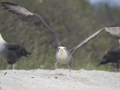 Waved Albatross, Take Off, Espanola Island, Galapagos