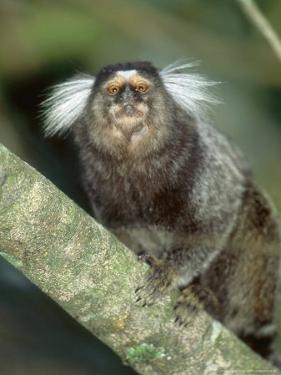 White Tufted-Eared Marmoset, Tijuca National Park, Brazil by Mark Jones