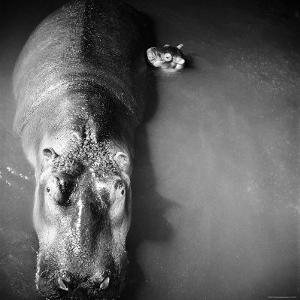 "Mother Hippo ""Bebe"" and Her Daughter by Mark Kauffman"