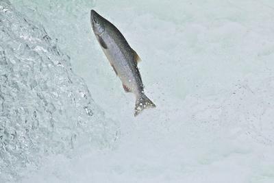 Chinook - King Salmon (Oncorhynchus Tshawytscha) Jumping at Brooks River Falls