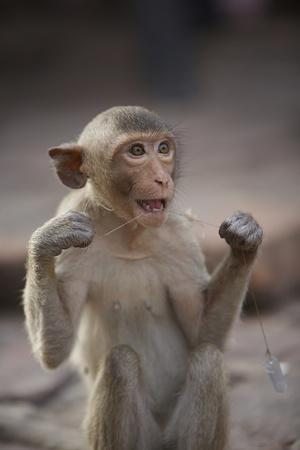Juvenile Long-Tailed Macaque (Macaca Fascicularis) Flossing its Teeth with String