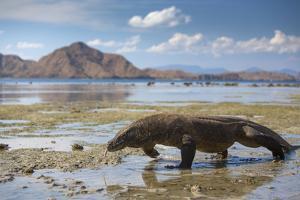 Komodo Dragon (Varanus Komodoensis) Walking with Tongue Extended on Beach by Mark Macewen