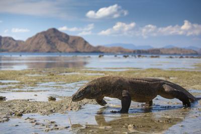 Komodo Dragon (Varanus Komodoensis) Walking with Tongue Extended on Beach