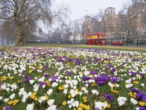 Crocus Flowering in Spring in Hyde Park, Bus on Park Lane in the Background, London, England, UK by Mark Mawson