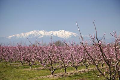 Fruit Blossom, Mount Canigou, Pyrenees Oriental, Languedoc-Roussillon, France, Europe