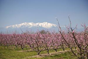 Fruit Blossom, Mount Canigou, Pyrenees Oriental, Languedoc-Roussillon, France, Europe by Mark Mawson