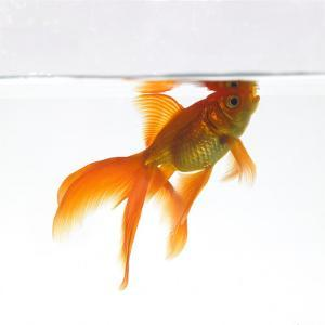 Goldfish Swimming Just Below the Surface of the Water by Mark Mawson