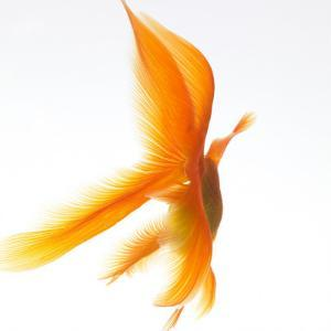 Goldfish by Mark Mawson