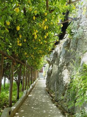 Lemon Groves, Amalfi Coast, Campania, Italy, Europe by Mark Mawson
