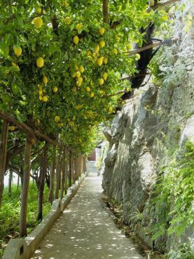 Lemon Groves, Amalfi Coast, Campania, Italy, Europe by Mark Mawson