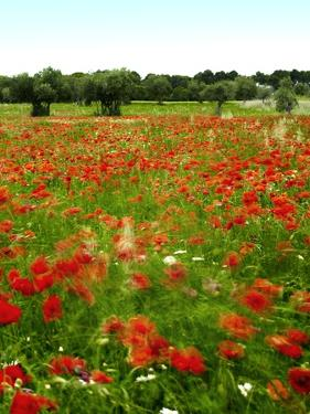 Poppy Field, Figueres, Girona, Catalonia, Spain, Europe by Mark Mawson