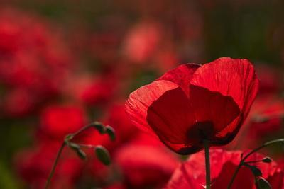 Poppy Field in the Alberes, Languedoc-Roussillon, France, Europe