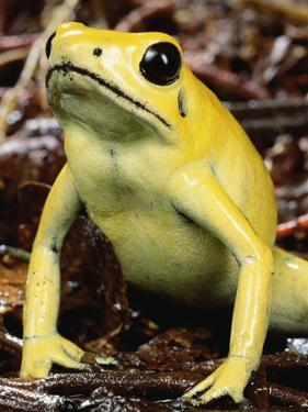 Golden Poison Dart Frog (Phyllobates Terribilis), the Most Poisonous of the Dart Frogs by Mark Moffett