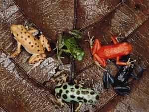 Strawberry Poison Dart Frog (Dendrobates Pumilio) Group Showing Color Variations A701 by Mark Moffett