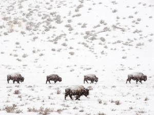 Bison in a Snow Storm by Mark Newman