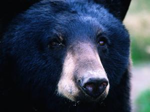 Black Bear (Ursus Americanus), U.S.A. by Mark Newman