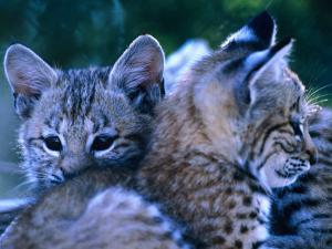 Bobcats (Felis Rufus), U.S.A. by Mark Newman