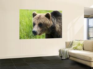 Brown Bear at Alaska Wildlife Conservation Center by Mark Newman