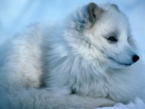 Close-Up of an Arctic Fox (Alopex Lagopus), Canada by Mark Newman