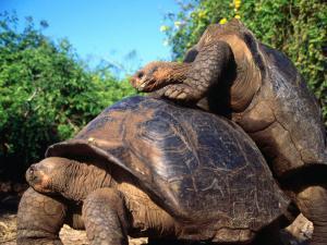 Galapagos Giant Tortoises Mating (Geochelone Elephantopus), Galapagos, Ecuador by Mark Newman