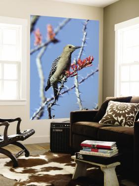 Gila Woodpecker (Melanerpes Uropygialis) by Mark Newman