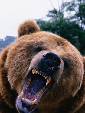 Grizzly Bear (Ursus Arctos), Denali National Park & Preserve, Alaska, USA by Mark Newman
