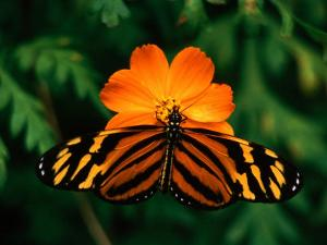 Large Tiger Butterfly (Lycorea Cleobaea) Resting on a Flower, Costa Rica by Mark Newman
