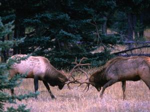 Male Elk (Cervus Elaphus) Fighting During the Rut, Jasper National Park, Alberta, Canada by Mark Newman