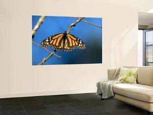 Monarch Butterfly (Danaus Plexippus) by Mark Newman