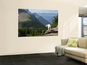 Mountain Goat (Oreamnos Americanus) by Mark Newman