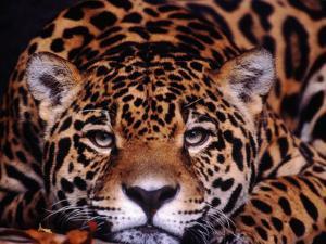 Portrait of a Jaguar, Brazil by Mark Newman
