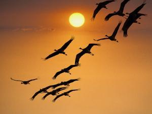 Sandhill Crane (Grus Canadensis) Migration Along Platte River by Mark Newman