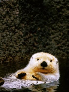 Sea Otter Floating on Its Back, Point Defiance Zoo, Tacoma, Washington by Mark Newman