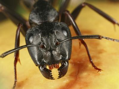 Black Garden Ant (Lasius Niger) on Fruit Showing Facial Structures by Mark Plonsky