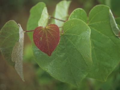 Eastern Redbud Leaves (Cercis Canadensis), Eastern North America