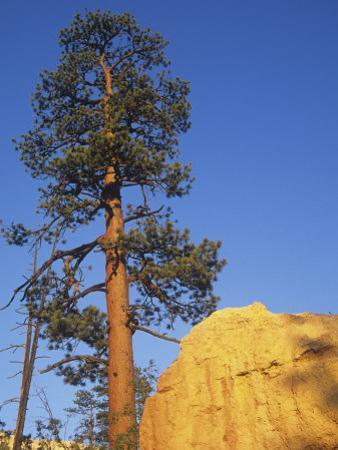Ponderosa Pine (Pinus Ponderosa), Western North America