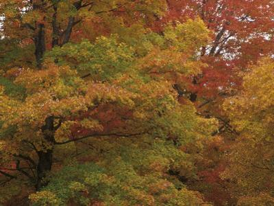 Sugar Maples Changing Colors in the Fall (Acer Saccharum), North America