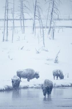 North American Bison (Bison bison) four adults, Yellowstone by Mark Sisson