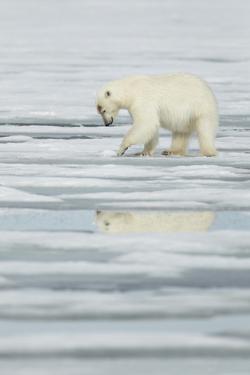 Polar Bear (Ursus maritimus) adult, scraping at pack ice, Svalbard, June by Mark Sisson
