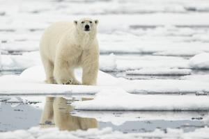 Polar Bear (Ursus maritimus) adult, standing on pack ice, Svalbard, June by Mark Sisson