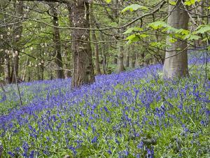 Bluebells in Middleton Woods Near Ilkley, West Yorkshire, Yorkshire, England, UK, Europe by Mark Sunderland