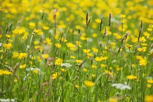 Grasses and Flowers in a Buttercup Meadow at Muker by Mark Sunderland