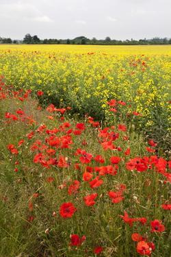 Poppies in an Oilseed Rape Field Near North Stainley by Mark Sunderland