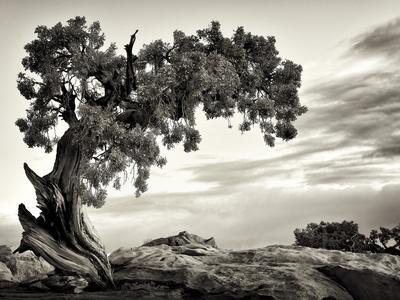 USA, Utah, Dead Horse State Park, Juniper Tree