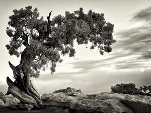 USA, Utah, Dead Horse State Park, Juniper Tree by Mark Sykes