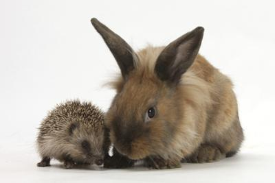 Baby Hedgehog and Young Lionhead-Cross Rabbit by Mark Taylor
