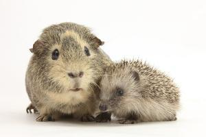 Baby Hedgehog (Erinaceous Europaeus) and Guinea Pig (Cavia Porcellus) by Mark Taylor