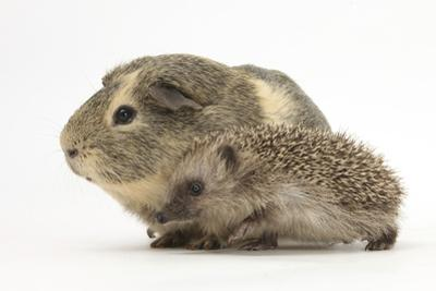Baby Hedgehog (Erinaceus Europaeus) and Guinea Pig, Walking in Profile by Mark Taylor